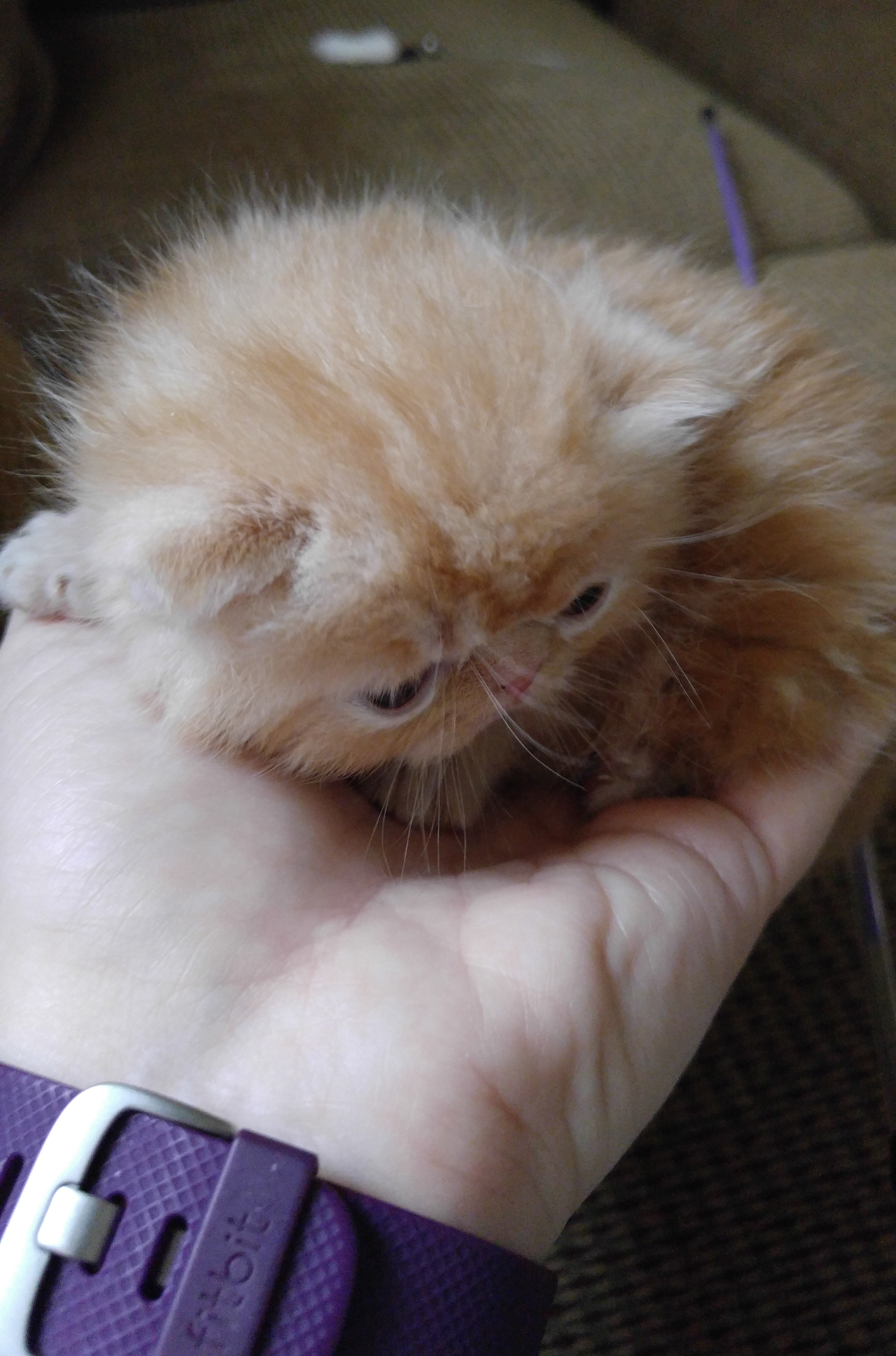 Mewz Precious Persians and Exotics Kittens For Sale