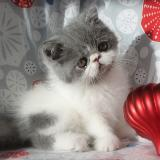 Gus, an Exotic Shorthair male kitten