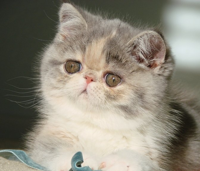 Exotic Shorthair Kitten Paisley