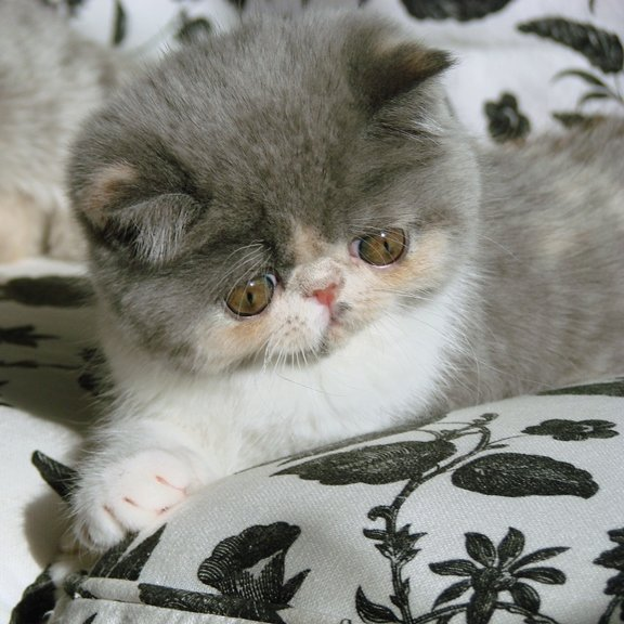 Exotic Shorthair Kitten Promise