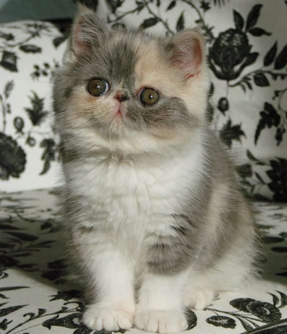 Pinny, Exotic shorthair kitten @ 9wks