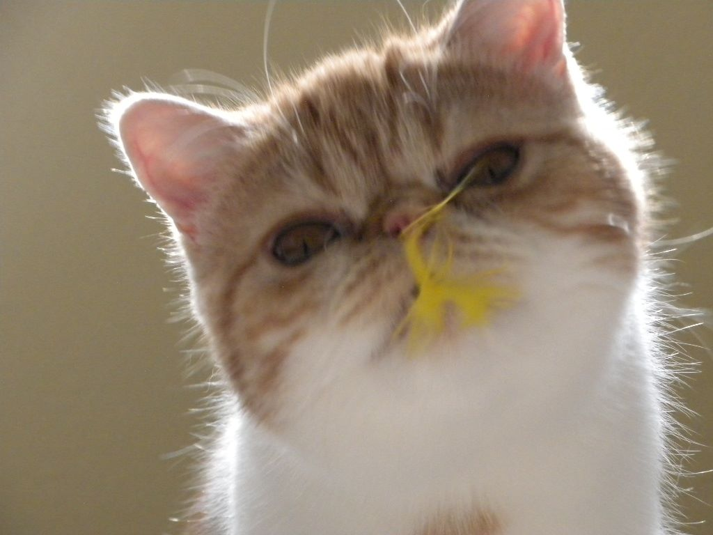 Pie, an Exotic Shorthair female