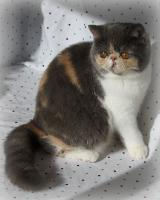 Promise, an Exotic Shorthair female