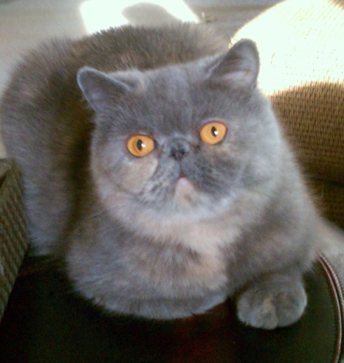 Luna, an Exotic Shorthair female