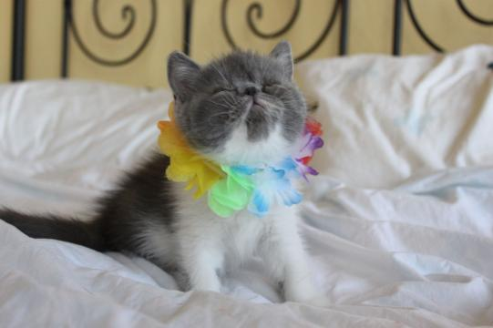 Pure JOY! Exotic Shorthair Male Kitten