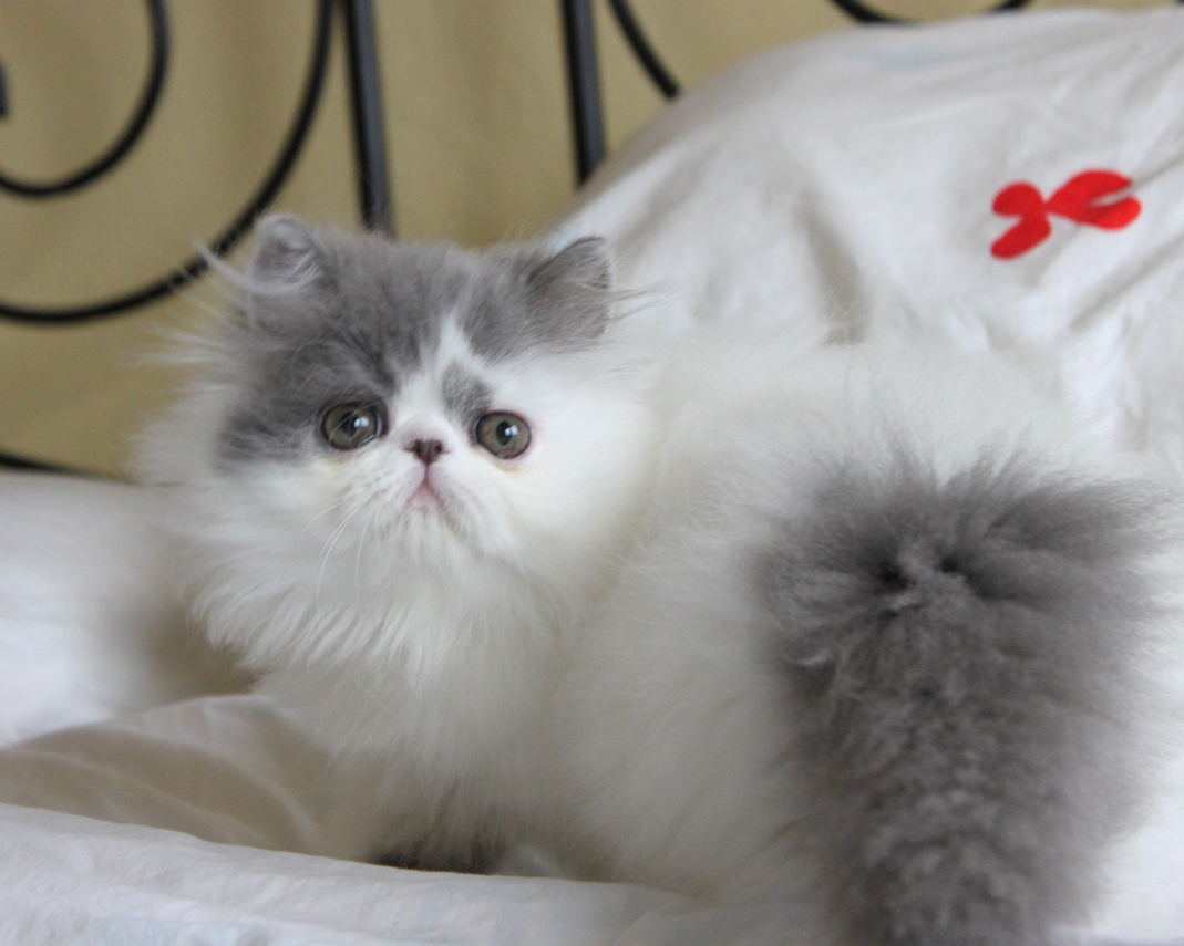 Persian Cats For Sale In Arizona