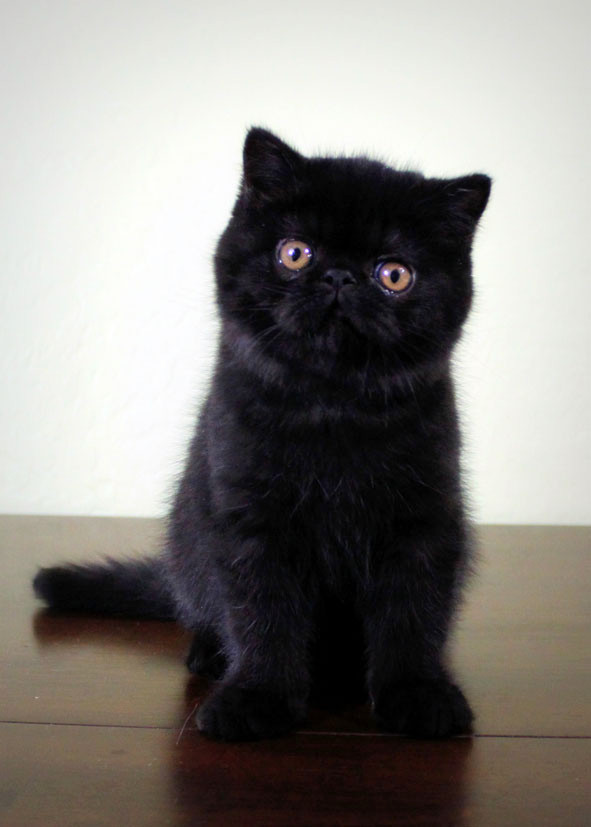 Rowdy! Black Exotic Shorthair