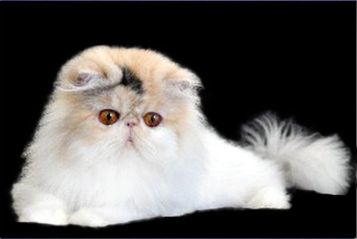 Tootsie, a Persian male