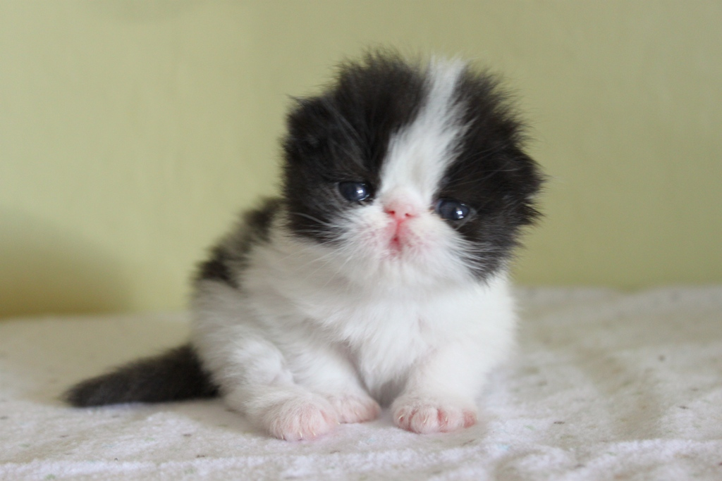 Rug Hugger Kitten Breeders | Taraba Home Review